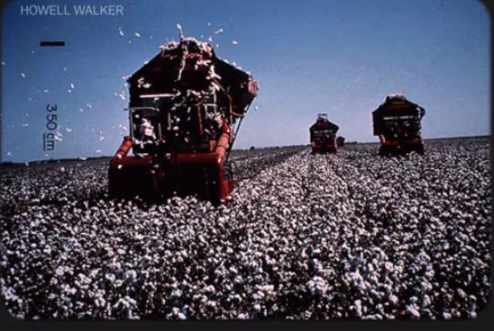 Cotton harvest 75