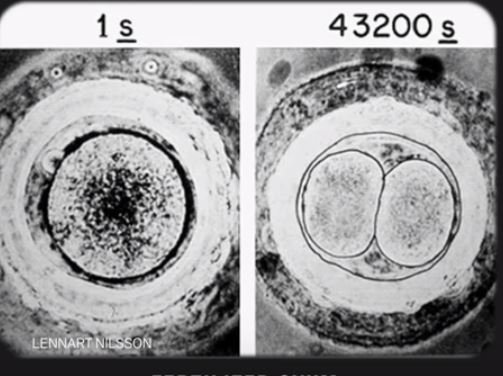 Fertilised ovum 29