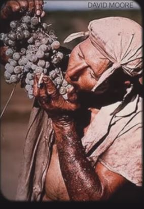 Grape picker 76