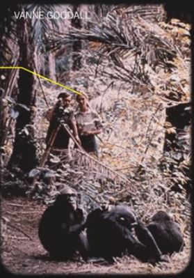 Jane Goodall and chimps 60