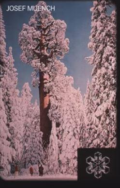 Snowflakes over sequoia 49